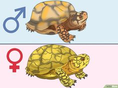 How to Tell If a Turtle Is Male or Female: 8 Steps (with Pictures) Yellow Bellied Slider, Red Eared Slider Turtle, Cute Tortoise, Tortoise Habitat, Yellow Belly Turtle, Pet Turtle Care, Box Turtle Habitat, Turtle Enclosure, Turtle Homes