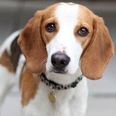 Know about American Foxhound dog breed #Petsworld #DogBreed