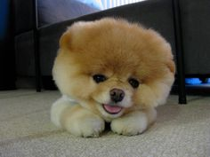 "Meet Boo, the cutest Pomeranian dog ever.  He's huge on Facebook.. Go find him and ""friend"" him to see many more super cute photos!"