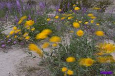 2019 Wildflowers - Anza-Borrego