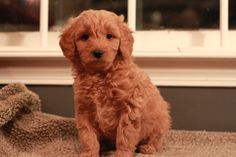 Red Goldendoodle puppy at 7 weeks old.  Adopted from River Valley Doodles, 2013.