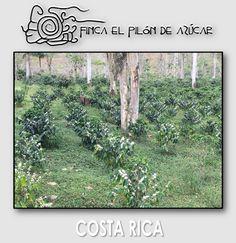 Mar. 2017 Obatá sembrado en Sep. 2015, Lote Casas. #fincaelpilóndeazúcar #cafédecostarica