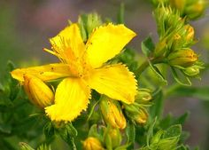 St John's wort is a prolific grower that is drought tolerant, not too picky about the soil that its grown in, and attracts most pollinators.   Medicinally, it has a history of being used as an herb to help heal depression, restore and tone the nerves, to boost immune function, incontinence, and to relieve pain and inflammation.   The leaves can be used in an alcohol infusion to dye wool and silk or mixed with hot water to produce a colorant for hair.
