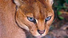 African goldcat