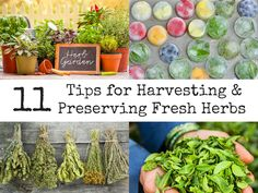 11 Tips for Harvesting and Preserving Fresh Herbs