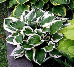 'Patriot' Hosta, one of the perenials I just brought this year for my flowerbed :) Just lovley!