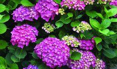 Bilde av HAGEHORTENSIA Hydrangea Macrophylla, Planters, Vegetables, September, Pictures, Hydrangeas, Vegetable Recipes, Plant, Window Boxes