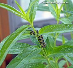 If you raise monarch butterflies indoors, rinse their milkweed to reduce the risk of disease and to keep your growing caterpillars hydrated. More tips on how to raise monarch butterflies inside...