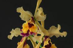 La especie  Cattleya dowiana  forma  carmoniana  floreció en el jardín de Julio Carmona en abril del 2014, en La Suiza de Turrialba. | FRANCO PUPULIN
