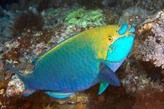 Scarus prasiognathos - Singapore Parrotfish 新加坡鸚嘴魚