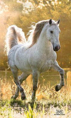 dapple grey horse, trotting