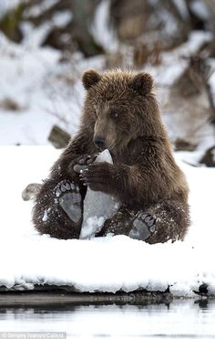 Adorable brown bear cub (Ursus arctos) playing with chunks of ice. Photo shot in the Kanchatka Peninsula by Sergey Ivanov on Nature Animals, Animals And Pets, Baby Animals, Cute Animals, Baby Pandas, Wild Animals, Beautiful Creatures, Animals Beautiful, Ours Grizzly