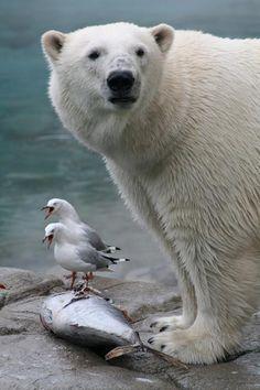 Twitter / MeetAnimals: Polar Bear sharing ...