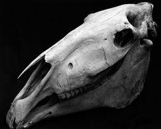 Horse Skull_1 : Free Download & Streaming Animal Skeletons, Animal Skulls, Horse Skull, Skull Reference, Horse Anatomy, Animal Bones, Airbrush Art, Wonderland, Skull And Bones