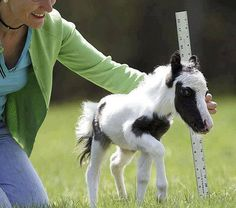 Einstein - The World's Smallest Horse