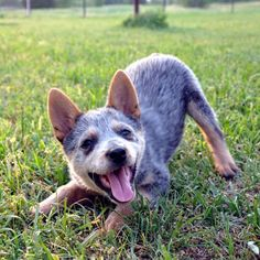 "Blue heeler pup. One word: Adorable. These dogs live up to the quote a ""dog is a girls best friend"""
