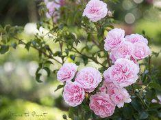 Zehn bewährte Tipps wie und wann Sie Rosen im Garten umpflanzen und ihnen dadurch ein zweites Leben schenken.