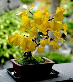 Heirloom Organic 5 Ginkgo biloba gingko Maidenhair by seedsshop