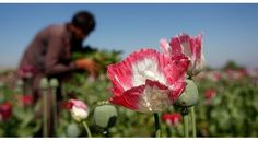About 90 percent of the world's illegal opium is estimated to come from…