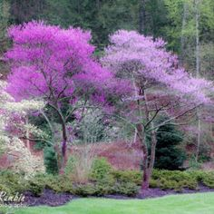 Biltmore Gardens..Love Redbud trees......