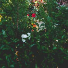 La Rosa, Fotografía de Luis Otero Huarotte / <<La ciencia no solo es compatible con la espiritualidad; es una profunda fuente de espiritualidad>>. Carl Sagan --- <<Science is not only compatible with spirituality; it is a profound source of spirituality>>. Carl Sagan __________  #rosa #rosas #rosal #rosebush #roses🌹 #rose #flor #arbusto #bush #arbustos #fragancia #frangance #sweetfragance #flor #flores #flowers #natureza #naturelover #greenlife