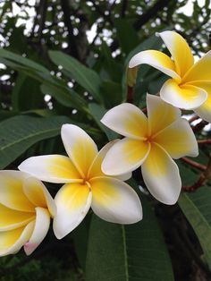 Plumeria blossoms are my happy place