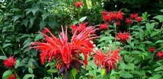 Spectacular Bee Balm. This flower will attract butterflies to your #garden.