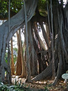 Tenerife, Ficus, Weird Trees, Unique Trees, Old Trees, Tree Roots, Carnivorous Plants, Tree Photography, Nature Tree