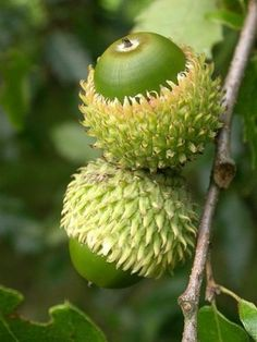 oak tree acorns or Quercus Libani seeds Flora, Acorn And Oak, Deco Nature, In Natura, Seed Pods, Natural Forms, Belleza Natural, Oak Tree, Vegetable Gardening