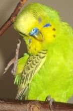 Adorable Budgie Animal Photo