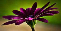 Purple Daisy by Karen Barry McCallie on 500px