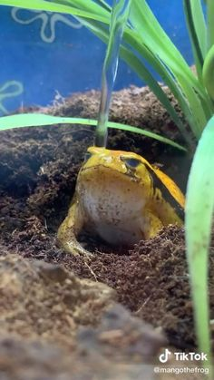 Cute Reptiles, Reptiles And Amphibians, Cute Little Animals, Cute Funny Animals, Pet Frogs, Funny Frogs, Frog Art, Frog And Toad, Cute Creatures