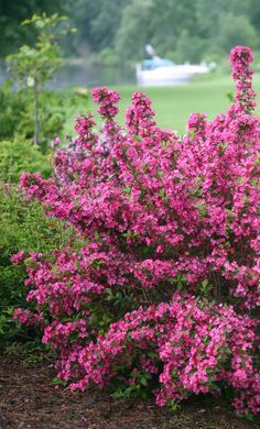 Sonic Bloom Pink Is The Landscape Plant You Ve Dreamed Of These Buds
