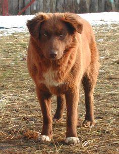 Aidi / Atlas Mountain Dog / Aïdi / Atlas Shepherd Dog / Chien de l'Atlas