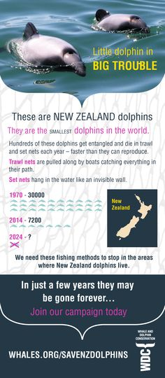 New Zealand dolphin infographic