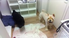 These two Chow Chow was my customers too... Heinola, Finland