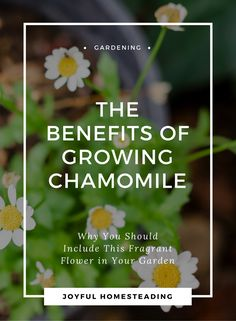 How to grow chamomile. Herb Chamomile is a perennial plant that produces small flowers resembling daisies that smell slightly of apples.