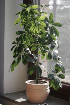 schefflera umbrella tree 3 indoor plants you need for 2019 Outdoor Plants, Potted Plants, Garden Plants, Plants Indoor, Herb Garden, House Plants Decor, Plant Decor, House Tree Plants, Exotic House Plants