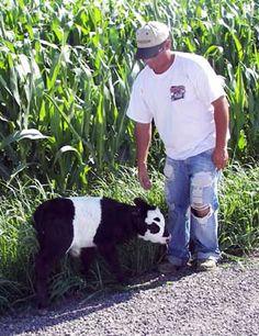 Ahhh!!!! A mini panda cow!!!! I want one! In my house! :D