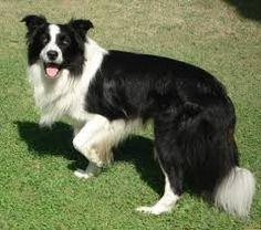 Risultati immagini per cani razze