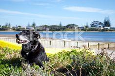 Huntaway Dog by Beach royalty-free stock photo