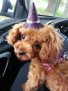Red toy poodle in a witch hat!