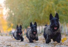 Scottish Terrier Dog Breed Information, Pictures, Characteristics & Facts - Scotties are Heaven - Dogs Terrier Dog Breeds, Pitbull Terrier, Terrier Puppies, Baby Dogs, Dogs And Puppies, Doggies, Scottish Terrier Puppy, West Highland Terrier, Small Dog Breeds