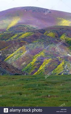 Hillside with Purple & Yellow Flower at Carrizo Plain National Monument - ALAMY stock Photo @GoogleImages