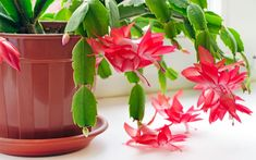 How to Care for Christmas Cactus - Green Friends for Our Home  IMAGES, GIF, ANIMATED GIF, WALLPAPER, STICKER FOR WHATSAPP & FACEBOOK