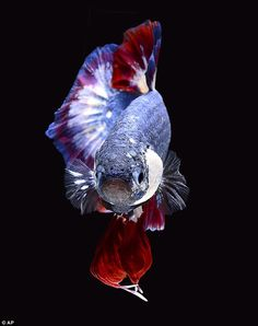 2K A Striking Siamese Fighting Fish Has Been Bred With The Same Colours As Th