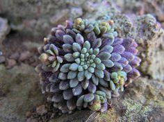 Monanthes brachycaulos es un endemismo canario,