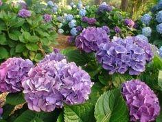 Lavender + blue hydrangea