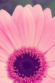 Flower wallpaper iphone Wallpapers) – Wallpapers For Desktop Girly Wallpaper, Wallpaper World, Screen Wallpaper, Wallpaper Backgrounds, Pretty In Pink, Pink Flowers, Beautiful Flowers, Vintage Flowers, Pink Gerbera