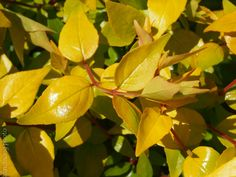 Bronze anniversary Abelia Pretty gold and bronze new growth with red stems. Color all through the growing season. Flowering Shrubs, New Growth, Garden Theme, Stems, Plant Leaves, Anniversary, Bronze, Seasons, Pretty